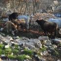 Osnovno stado krava