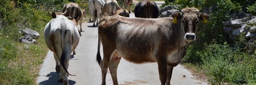 Uzgoj autohtone pasmine krava