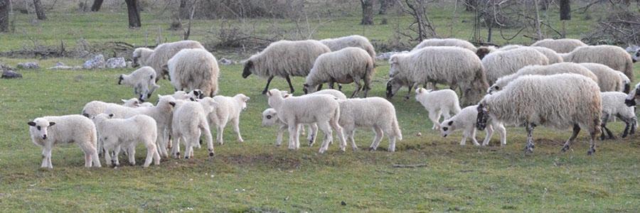 Uzgoj autohtone pasmine ovaca
