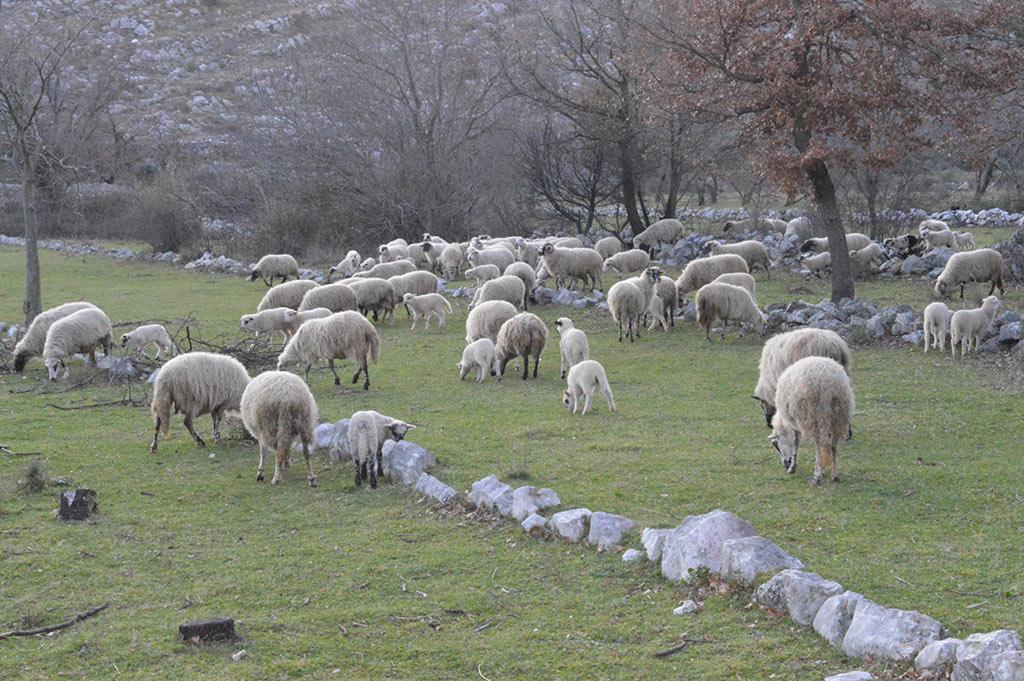Osnovno stado ovaca