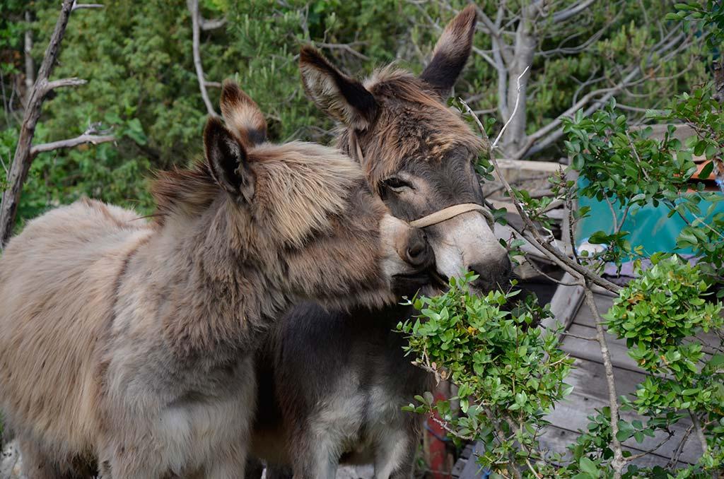Stado vrijednih magaraca